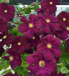 Related image Clematis, Flowers, Plants, Image, Plant, Royal Icing Flowers, Flower, Florals, Floral
