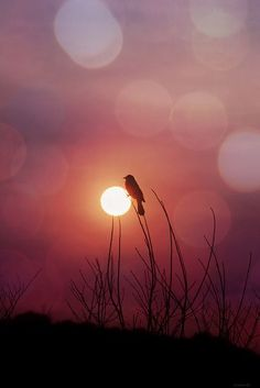 The rosy morning sun rises and glows behind a small bird perched on a wheat stalk