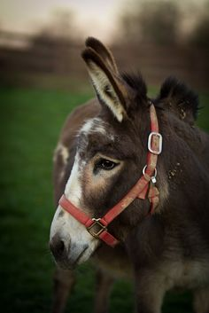Little Burro