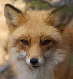 Red fox  http://naturalunseenhazards.files.wordpress.com/2011/05/beardsley-red-fox.jpg