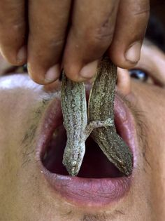 Thai farm employee Somsak Inta, 36, puts two house lizards in his mouth prior to eating them in Nakorn Nayok province, 60 kilometers away from Bangkok April 9. Somsak started eating lizards when was 16 as a means to treat health problems, which he claims could not be cured by modern medicine. He has since been eating lizards for over 20 years, believing, among other things, it increases his sex drive. (REUTERS)