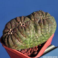 Euphorbia obesa forma polytomica