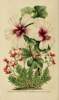 Lavatera maritima and Stylidium recurvum - circa 1856