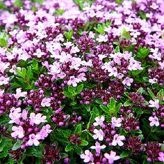Bilderesultat for stauder med lang blomstringstid Garden Spaces, Garden Plants, Exotic Flowers, Beautiful Flowers, Exotic Plants, Thymus Serpyllum, Creeping Thyme, The Tiny Seed, Cactus Plante