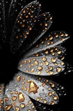 Rain drops on flower petals - Black - Gold - Nature - Photography Dew Drops, Rain Drops, Black Is Beautiful, Beautiful Flowers, Simply Beautiful, Colorful Flowers, Wild Flowers, Neon Flowers, Black Flowers