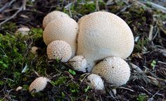 Bernard Spragg posted a photo:  Lycoperdon pyriforme, commonly known as the pear-shaped puffball or stump puffball, is a saprobic fungus present throughout much of the world. Emerging in autumn, this puffball is common and abundant on decaying logs of both deciduous and coniferous wood. It is considered a choice edible when still immature and the inner flesh is white