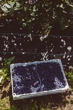 Naturipe Blueberries in Angol, Chile Video Action, Golden Knights, Blueberries, Flora, Film, Tv, Beautiful, Bicycle Kick, Game Pieces