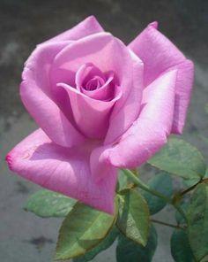 Flowers and Gardening. Lavender Roses, Purple Roses, Beautiful Rose Flowers, Colorful Flowers, Rose Reference, Morning Rose, Love Garden, Arte Floral, Flower Pictures