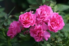 Zephirine Drouhin (Bourbon) 1868. This bright pink beauty can be used as a large shrub or small climber. Good for plantings close to walkways and in small spaces because it has no thorns. Repeat bloomer. Grows 6-8 ft tall. Photo by vtgard, via Flickr.