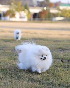 Two fun-loving Pomeranians. :) #pomeranian Cute Puppies, Cute Dogs, Dogs And Puppies, Doggies, Pomeranian Puppy, Small Pomeranian, Pomeranian Haircut, Save A Dog, Companion Dog