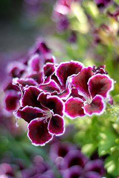 Geranium ~ Pelargonium