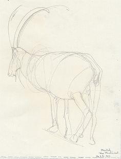 Sketch capricorn , pencil Zoo planckendael#anys