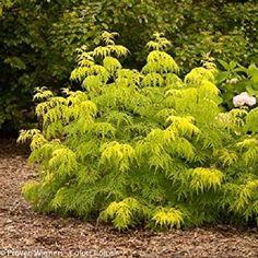 "Lemon Lace Elderberry - 4"" Pot - Sambucus racemosa ''SMNSRD4'' ppaf; cbraf"
