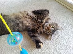 A happy cat boarder at our home - Carol's Contented Critters, PetCare, Currumbin Waters, QLD, 4223 - TrueLocal