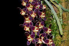 The Leafless Miniature-orchid / Micro-orquidea: Chiloschista lunifera