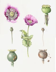 Poppy. From the collection of botanical illustrations of flowers by Wendy Hollender.