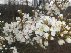 Detalle de flores blancas. Marzo 2013