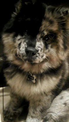 Roxy is a Blue Merle chow chow