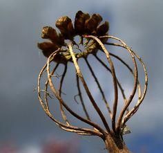 Skeletal poppy head by nutmeg66, via Flickr.