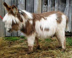 wooly miniature donkey, so cute