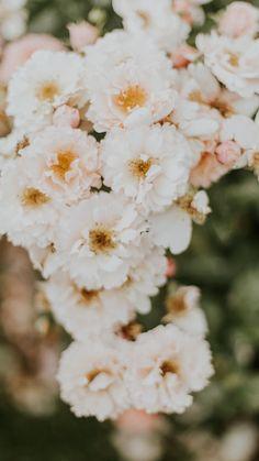White rose #wallpaper #myfavwallpaper #lockscreen #iphonewallpaper #smartphone