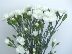 White Mini Carnations #Carnations