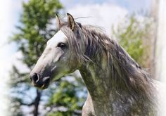 Cavalia Lusitano : love the noble head on these horses. The curved roman nose, kind eyes and sharp little ears.