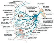 trigeminal nerve - Google Search
