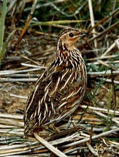 Stubble Quail (Cotumix pectoralis) is a native Australian species which is the most common quail species in Australia. The species is not under any threat of extinction. Stubble Quail are found in a diverse range of habitats from very dry parts of Australia to alpine grasslands. Stubble Quail are more common in the rainfall areas of south eastern and western Australia though are often found in the arid zone after above average rainfall.
