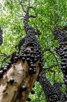 Brazilian Grape tree grows fruit directly off the trunk. Amazing! #nature