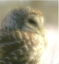 Barred Owl in Soft Focus Nature Photography on by TheOldBarnDoor, $4.00