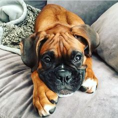 "Check out our web site for more info on ""boxer pups"". It is an outstanding place to find out more. Cute Boxer Puppies, Cute Little Puppies, Dogs And Puppies, Boxer And Baby, Boxer Love, Forever Puppy, Boxer Dogs Facts, Pet Dogs, Doggies"