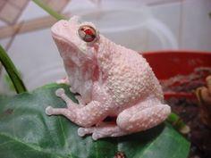 Albino Grey Tree Frog