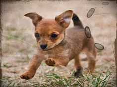 Chihuahua and Yorkie Mix Puppies