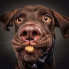 Photographer Christian Vieler specializes in glorious moments of the purest joy – capturing dogs trying to snaffle treats out of mid-air. The expressions he Cute Funny Animals, Funny Dogs, Cute Dogs, Cute Dog Pictures, Funny Animal Pictures, Animal Pics, Funny Photos, Christian Vieler, Short Haired Dogs