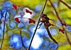 "Dragonfly in a tree; ""Stained Glass Dragonfly"" by Krikit ♥, via Flickr"