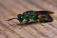 """Cuckoo Wasp. The name """"cuckoo"""" refers to the way the wasps lay their eggs in other insect's nests."""