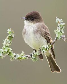 Eastern Phoebe - Often live under the eaves of houses. Identifiable by it's…