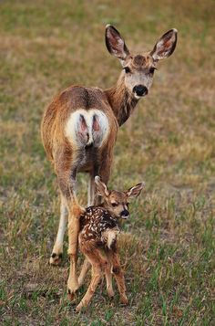 Mama doe and fawn