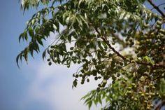 Natürlicher Zeckenschutz mit Kokosöl und ätherischen Ölen | AROMA 1x1 Alternative Medicine, Clouds, Plants, Outdoor, Tick Bite, Muscle Pain, Organic Beauty, Home Remedies, Lawn And Garden