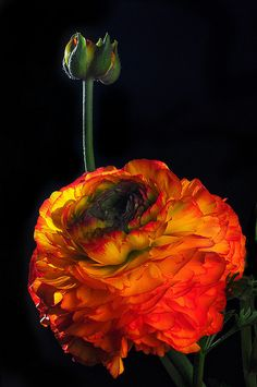 Suggested flower and color I really like as it seems more sunlit hue for a fall sunset wedding ===== Ranunculus Blossom and Bud