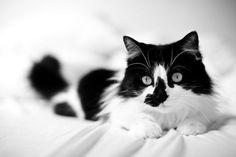 #black & white cat