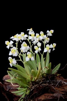 Distinctive Gifts Mean Long Lasting Recollections Zygostates Alleniana Orchids Garden, Orchid Plants, Roses Garden, Orchid Flowers, Miniature Orchids, Miniature Plants, Exotic Flowers, Beautiful Flowers, Mini Orquideas