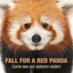 Red Panda on Temporary Exhibit at CT's Beardsley Zoohttp://blog.ctnews.com/serra/2015/11/17/red-panda-on-temporary-exhibit-at-cts-beardsley-zoo/