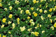 Pansy 'Delta Premium Pure Lemon'
