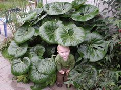 'Giganteum' Tractor seat - I have to have this plant back by the pond!