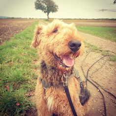 Hello friends! Here is a little #smile for you to brighten your #Sunday . . . . . . . . #happydog #happydogs #smilingdog #smilingdogs #dogsarejoy #happyairedale #smilingairedale #airedales #airedaleterrier #airedalesofinstagram#terriers #Airedale #terrier #terrierlove #terriersofinstagram #terrieroftheday #terrierofinstagram #airedaleoftheday #airedalesofig #instaairedale