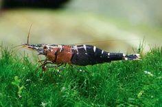 Freshwater shrimps from Sulawesi