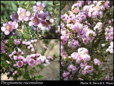 : FloraBase: Flora of Western Australia Rock Garden Plants, Garden Types, Platycerium, Plant Species, Native Plants, Western Australia, Blossoms, Vines, Succulents