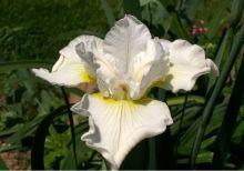 Iris sibirica HARPSWELL HAPPINESS